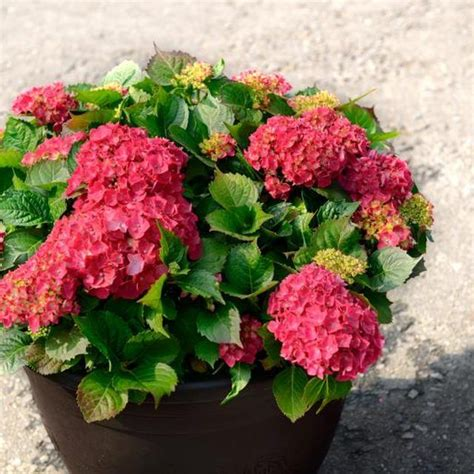 care of hydrangeas in pots how to grow hydrangeas in containers growing hydrangea make it and pots
