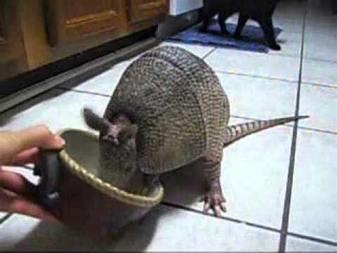 pet armadillo dillan armadillo eating worms youtube