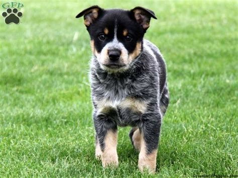 Blue Heeler Border Collie Shedding by The World S Catalog Of Ideas