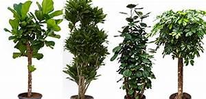 Zimmerpflanze Große Blätter : zimmerpflanzen kaufen 123zimmerpflanzen ~ Lizthompson.info Haus und Dekorationen