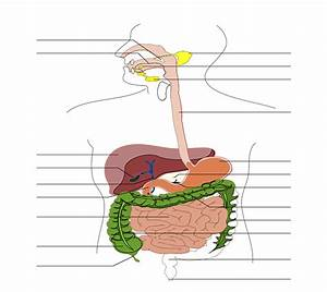 File Digestive System Diagram No Labels Arrows Svg