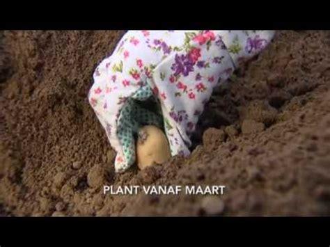 Wanneer aardappelen planten