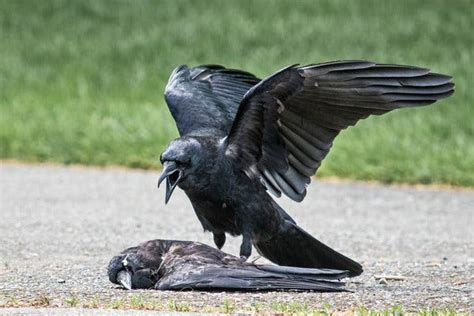 Why Are Some Crows Committing Acts Of Necrophilia?