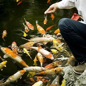 Nourriture Poisson Bassin : alimentation nourriture pour poissons de bassin ~ Melissatoandfro.com Idées de Décoration