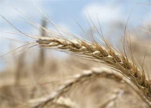 Winter Wheat Planting Is On Track Across State