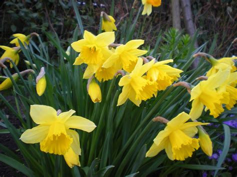 daffodil yellow bulbs4u