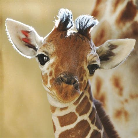 Baby Giraffe, I'm So Cute, My Mom Won't Let Me Outside Til After Dark Because Of…  Baby Animals