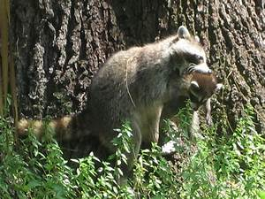 Raccoon graph 037 A mom raccoon picks up her baby