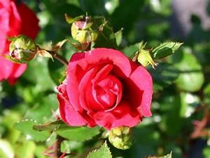Kletterrose New Dawn : kletterrose 39 red new dawn 39 rosa 39 red new dawn ~ Michelbontemps.com Haus und Dekorationen