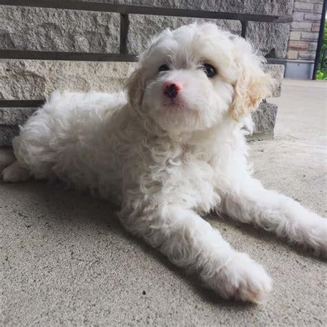 mini poodle shih tzu litter  puppy id