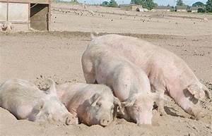 Pig welfare: EFSA updates its scientific advice