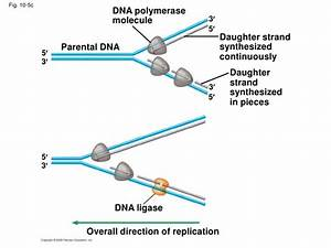 32 Bioflix Activity Dna Replication Dna Replication