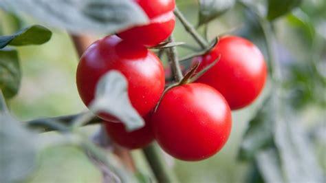 blätter werden braun und trocken sch 228 dling rostmilben an tomaten k 246 nnen im gew 228 chshaus