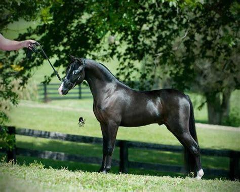 shetland ponies horse mini horses miniature ten sales stallion national