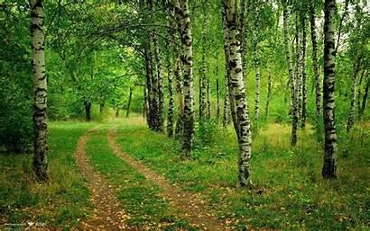 Birch Tree Desktop Trees Road Backgrounds Resolution