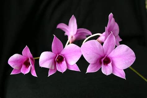 cooktown orchid floral emblem  queensland orchid