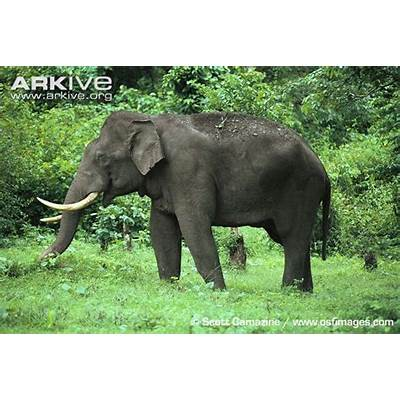 Asian Elephant - Elephas maximus
