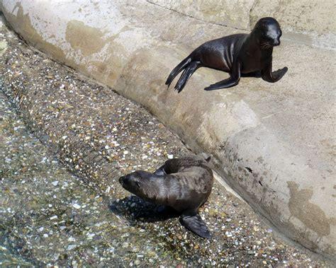 Gärten Der Neugierde by Www Zoo Wuppertal Net Kalifornische Seel 246 Wen Jungtiere