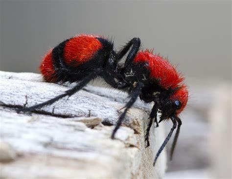 red velvet ant dasymutilla occidentalis