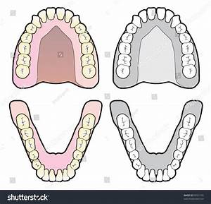 Tooth Chart Stock Vector Illustration 84331735   Shutterstock