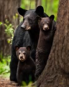 Arkansas Black Bear Family