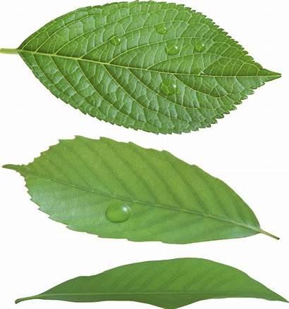 Leaf Leaves Transparent Format Nature Freepngimg Different
