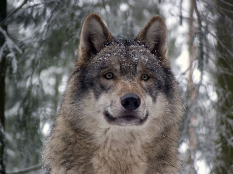 Wolf Wallpaper Real by File Grey Wolf P1130270 Jpg Wikimedia Commons
