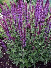 Purple Salvia Flower Perennial