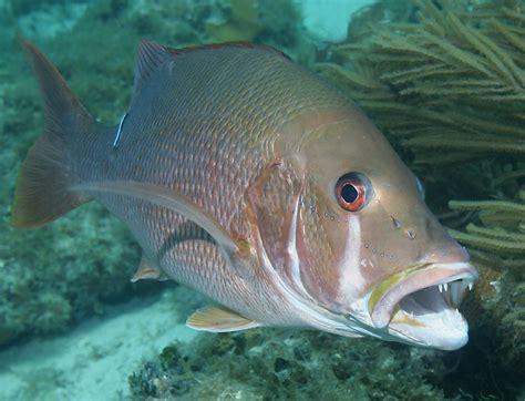 underwater snapper belize dog jocu lutjanus caribbean highlights fish under seaman richard sea 2009 species creatures isthmus animals