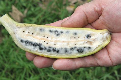 bananas with seeds say quot hello quot to new species of banana called quot musa nanensis quot