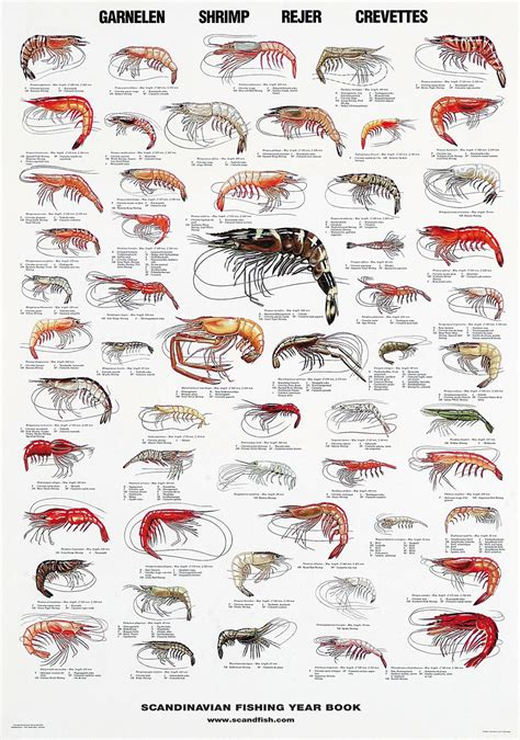 shrimp poster poster  shrimps global delivery