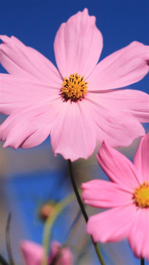 wallpaper pink  hd wallpaper flower summer nature