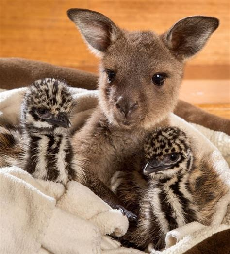 baby kangaroo   emu chicks instantly connect