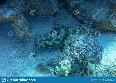 greasy epinephelus grouper rather lurks upward prey arabian facing mouth thick wide catch healthy