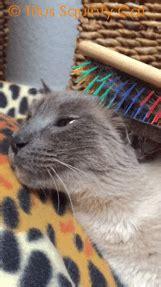siamese cat cute cats gif wifflegif