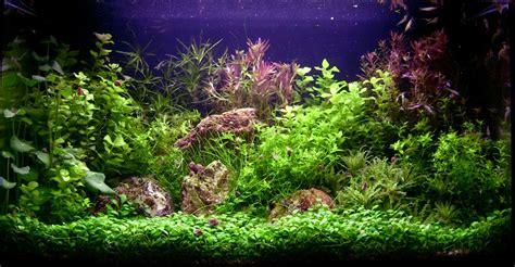 flintstones mes aquariums association aquariophilie org