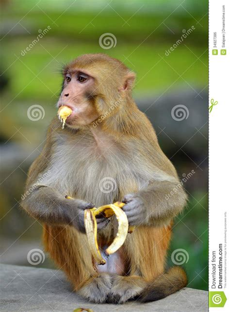 monkey eating banana royalty  stock image image