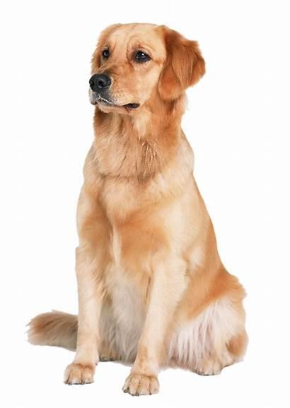 Golden Retriever Dog Labrador Puppy Transparent Clipart