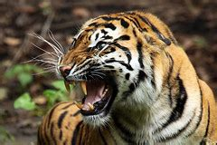 The World Best Photos Snarling Tiger Flickr