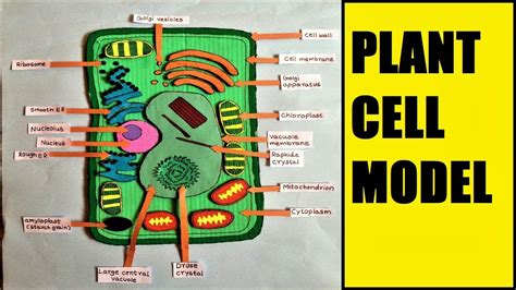Diagram Of Plant Cell Easy