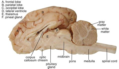 sheep brain anatomy diagram anatomy of sheep gam on an interactive map of the br