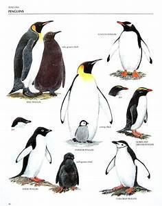 King Penguin Vs Emperor Penguin