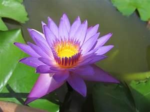 Images Gratuites   P U00e9tale  Botanique  Lotus Sacr U00e9  Plante