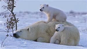 POLAR BEAR LOVE: Cute polar bear cubs lovin' up their ...