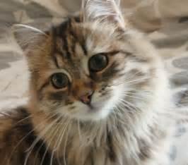 siberian cats for siberian cat prekrasne siberian cats trendy mods