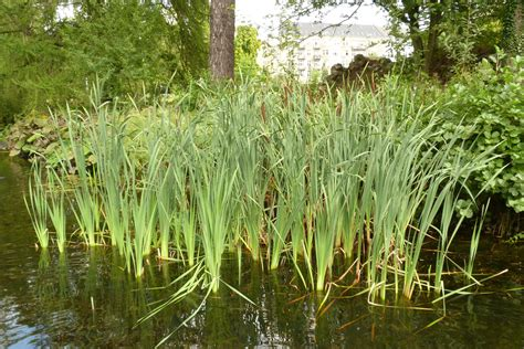 water plants aquatic and marginal plants british flora uk