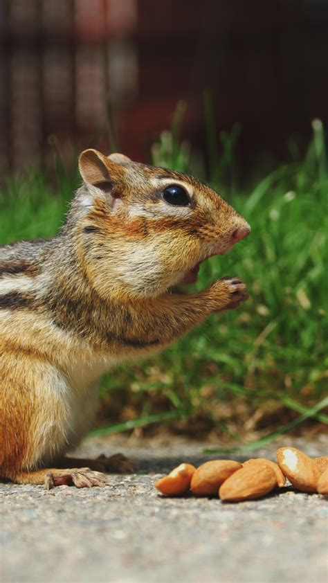 cute chipmunk eating surprised android wallpaper