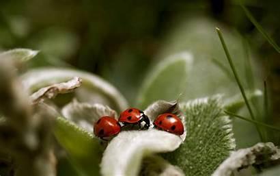 Ladybugs Desktop Wallpapers Ladybug Latoro Lady Spring