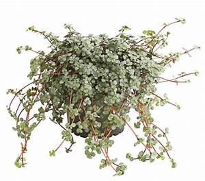 Pilea Pflanze Kaufen : kanonierblume dehner garten center ~ Michelbontemps.com Haus und Dekorationen