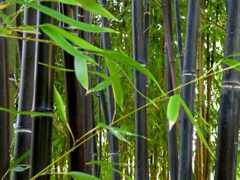 plantation bambou en pot achat bambou en pot pour plantation et bac la paysagerie
